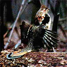 drumming Ruffed Grouse
